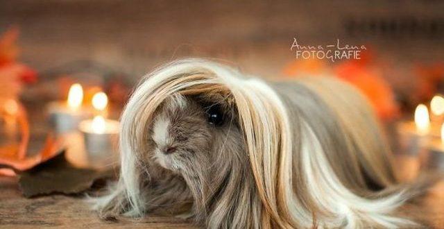 ГАЛЕРИЈА  Морски прасиња со поубава коса од твојата