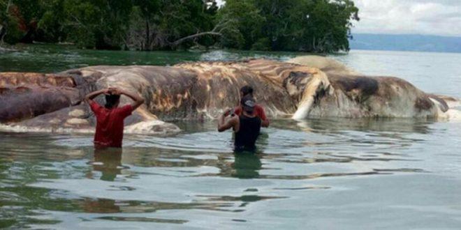 Научниците ја открија мистеријата за насуканото морско суштество во Индонезија