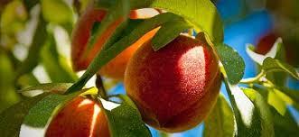Владата на денешната седница ќе донесе одлука за поддршка на овоштарите