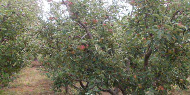 Берел јаболка во двор  паднал и починал