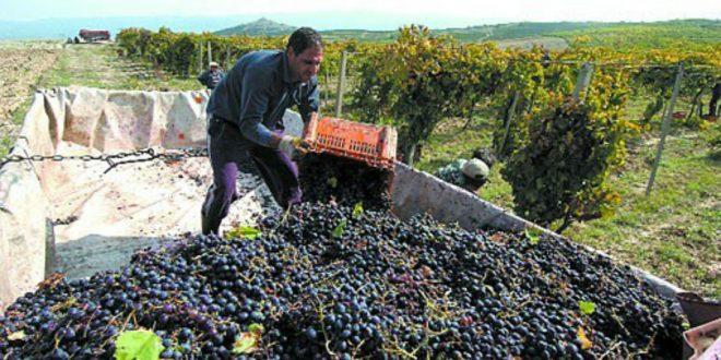 """Откупувачите најдоцна до """"Свети Трифун"""" да склучат договори за грозјето, бараат лозарите"""