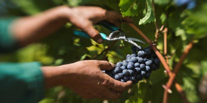 Заев: Ќе одвоиме дополнителни 4 денари за килограм предадено грозје