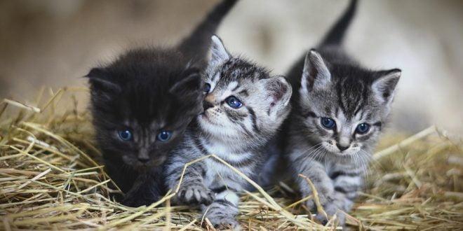 Истражувањата покажаа: Мачките се врзуваат за луѓето повеќе од кучињата