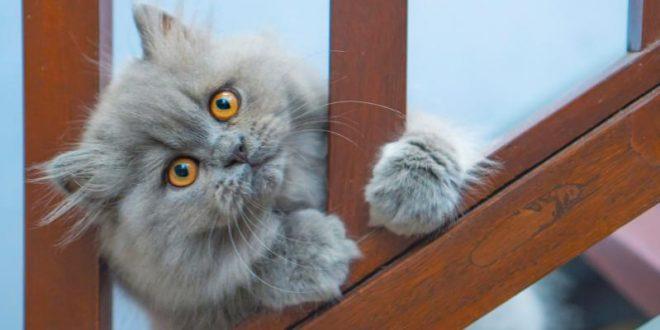 Што ги прави персиските мачки толку посебни?