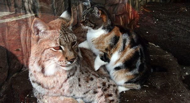 Едно маче успеа да го освои срцето на рисот од руската зоолошка градина