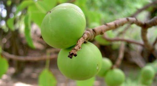 Најотровното дрво на светот: Може да се затруете дури и ако стоите под него кога врне