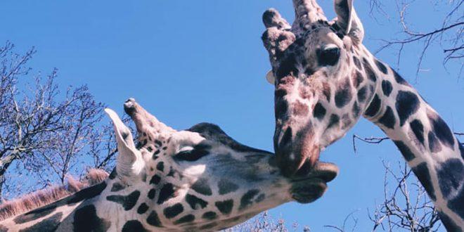 """""""Прво ќе те бацам јас, после ти мене"""" – љубовната приказни на Флопи и Тобого од Скопската зоолошка градина"""