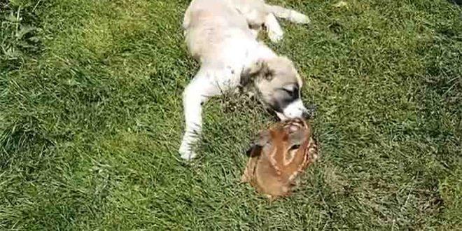 Белица: Кучето Медо од шума донесе срнче во домот на семејството на Радески (ВИДЕО)