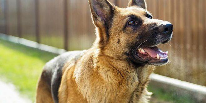 И тие даваат свој придонес во борбата против коронавирусот: Германската војска обучува кучиња за препознавање корона